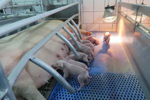 Zawalczyć o dobre wyniki swojego stada świń