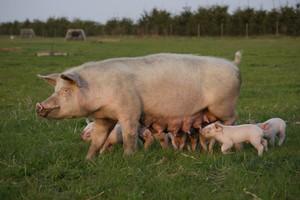 Rosja zamierza wznowić import świń hodowlanych z UE