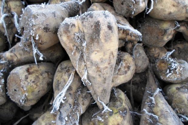 Nieokryte agrowłókniną buraki cukrowe tracą na wartości