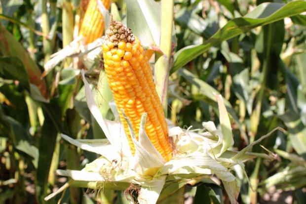 Wstępne wyniki plonowania odmian kukurydzy na ziarno