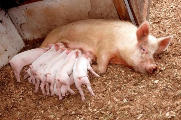 W Danii pogłowie świń większe niż przed rokiem