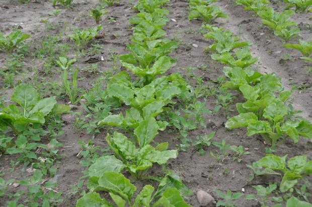 Nawozy mineralne adiuwantem dla herbicydów