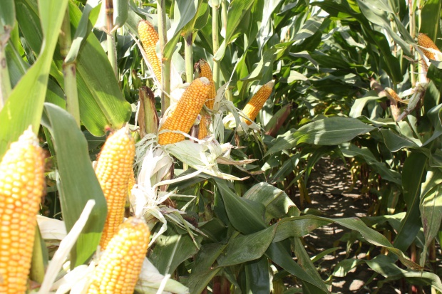 Najnowsze odmiany kukurydzy z Krajowego Rejestru Odmian