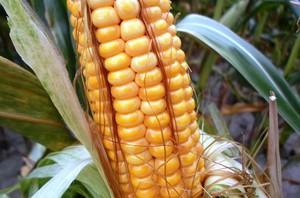 Kukurydza - plonowanie w rejonach północnych