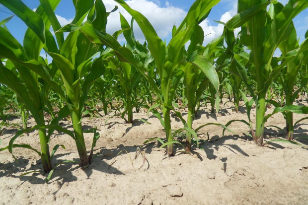 Klasyfikacja wczesności kukurydzy FAO
