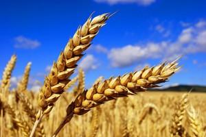 Ten rok, to wyższe zbiory zbóż
