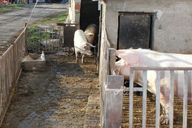 Za ile i gdzie program bioasekuracji w związku z ASF?