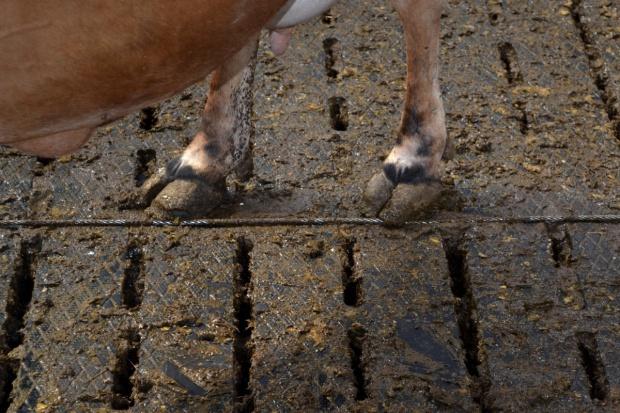 Truskawkowa piętka u bydła - choroba Mortellaro
