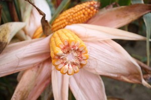 Jaką odmianę kukurydzy wybrać?