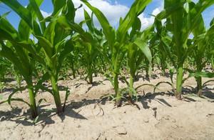 Płynny nawóz organiczny podany wgłębnie w uprawie pasowej kukurydzy