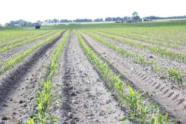 Czy spadnie areał kukurydzy?