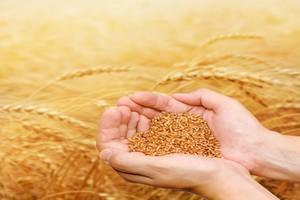 Korekta światowych zapasów końcowych pszenicy, kukurydzy i oleistych