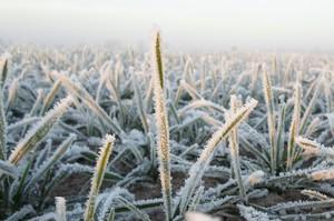Dotychczasowa zima, a oziminy