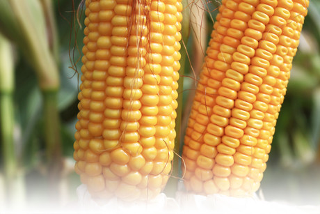 Najwcześniejsze odmiany kukurydzy