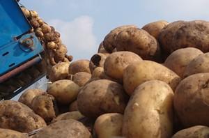 Tanie ziemniaki i problemy z ich zbytem