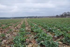 Niemcy: Zasiewy zbóż ozimych większe, a rzepaku mniejsze niż w poprzednim roku