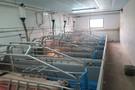 Ciekawe rozwiązania w produkcji świń