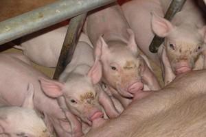 Kolejny wirus poważnie zagraża polskim gospodarstwom trzody chlewnej