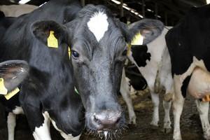 Trudna sytuacja brytyjskich producentów mleka