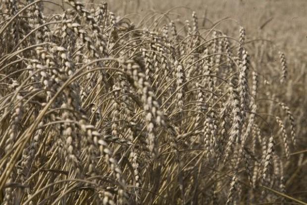 Bez zmian na rynku zbóż
