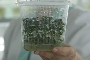 Wzrosła powierzchnia światowych upraw roślin genetycznie modyfikowanych