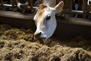 Mocznik – tańsze źródło białka dla bydła