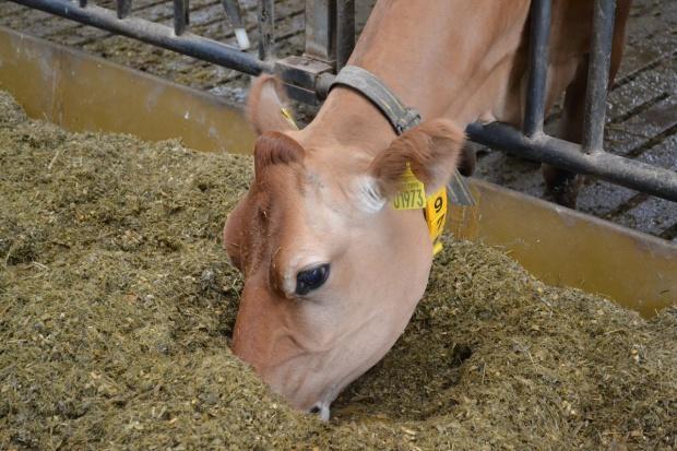 Stres oksydacyjny u wysokowydajnych krów