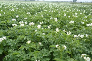Czy spadnie powierzchnia uprawy ziemniaków?