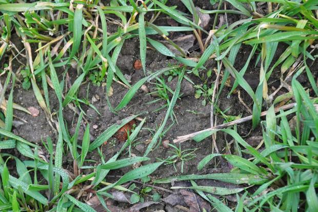 Wczesnowiosenne odchwaszczanie zbóż
