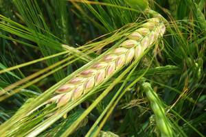 Obniżona dawka herbicydu w zbożach jarych