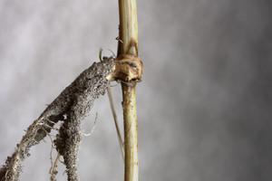 Ostra plamistość oczkowa zbóż