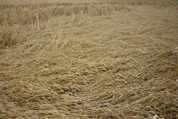 Regulatory wzrostu z adiuwantami w pszenicy ozimej