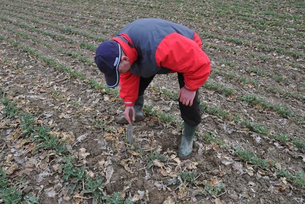 Sucha zgnilizna roślin kapustnych