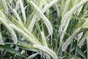 Wysyp nowych odmian zbóż ozimych