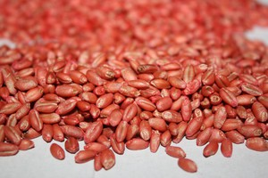 Ceny za materiał siewny zbóż jarych oraz strączkowych