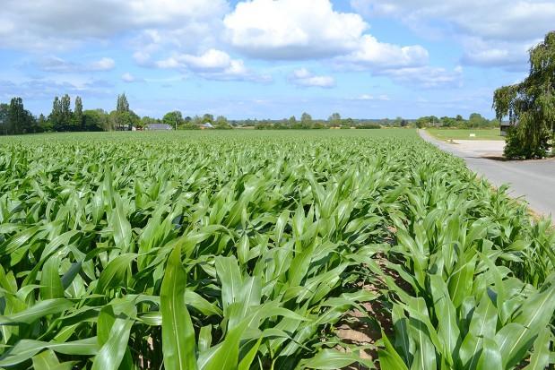 Kukurydza - jedna roślina, wiele możliwości