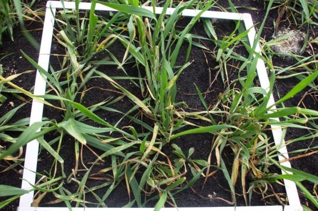 Pierwsza dawka azotu w pszenicy ozimej