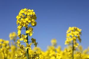Nawożenie rzepaku - zasady stosowania bezchlorkowych nawozów dolistnych ARKOP