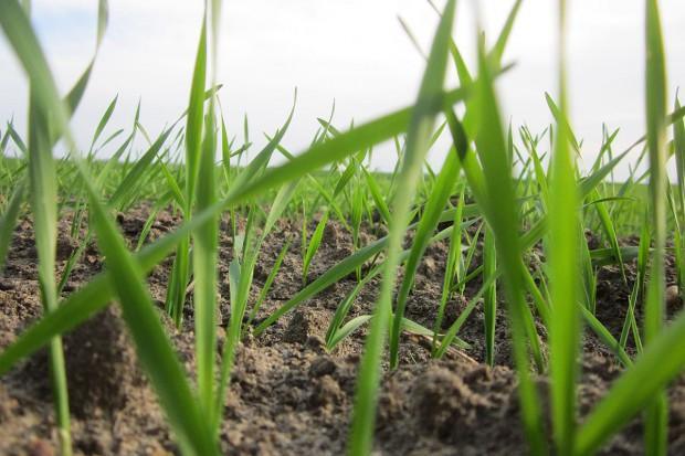 Odchwaszczamy pszenicę i jęczmień jary