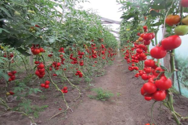 Komu dopłata do pomidorów