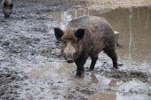 Resort środowiska zalecił większy odstrzał dzików na wschodzie Polski