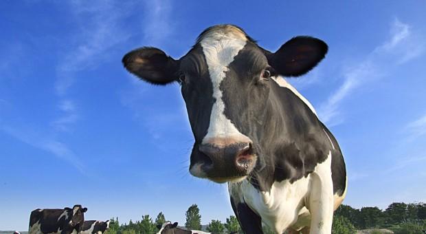 Niemcy:Większy eksport bydła hodowlanego, mniejszy nasienia