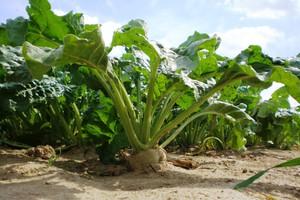 Limit uprawy buraków można dzierżawić czy zbywać