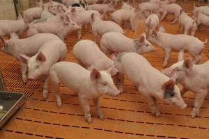 Wysoki potencjał nanosrebra w produkcji zwierzęcej