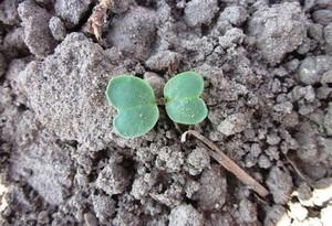 Bez odmian odpornych nie ma ochrony roślin
