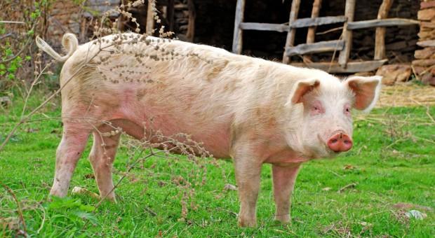 W Chinach rośnie zapotrzebowanie na wieprzowinę z UE