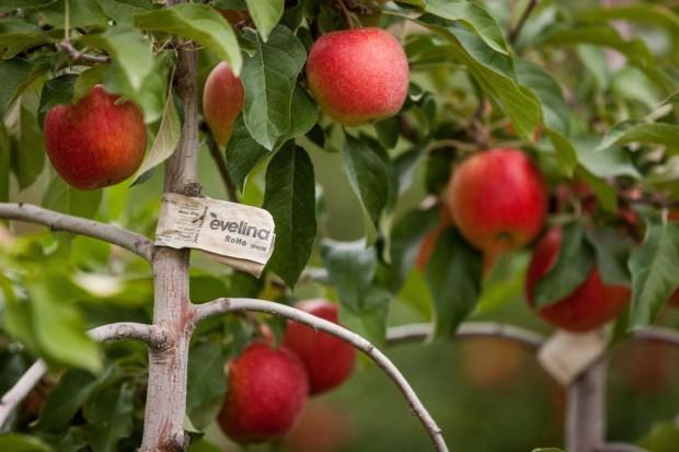 Eksport jabłek z UE