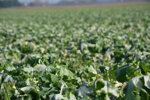Nawożenie wysokoproduktywnej plantacji rzepaku wiosną