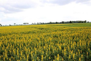 Ochrona łubinu – preparaty do walki z agrofagami