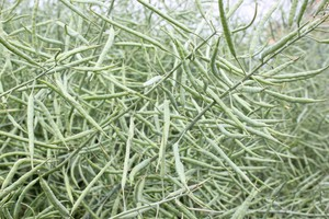 Krzem - niedoceniany, ważny pierwiastek dla roślin